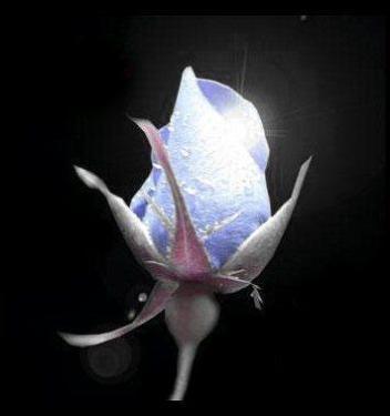rosa-illuminata.jpg
